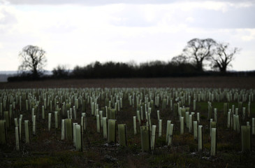 Newly planted trees are pictured near ancient woodland set to be felled to make way for Britain's HS2 high-speed in South Cubbington Wood, Leamington Spa