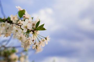 Obraz Białe kwiaty na tle niebieskiego nieba. Kwitnące drzewo owocowe. - fototapety do salonu