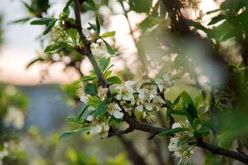 Obraz Białe kwitnące kwiaty. Kwitnące drzewo owocowe. Zielone liście. Kwitnąca wiśnia. - fototapety do salonu
