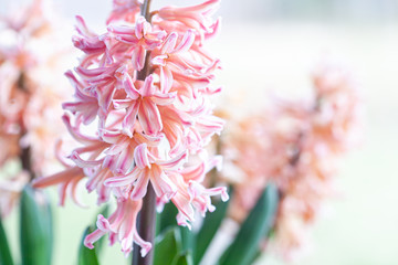 Spring hyacinth in pastel peach color