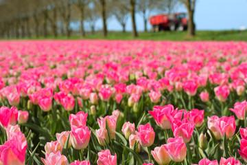 Photo sur Plexiglas Rose banbon Fields full of Dutch tulips