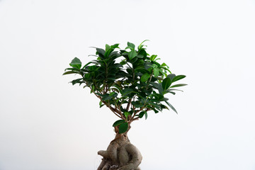 Aluminium Prints Bonsai Small bonsai ficus microcarpa ginseng plant on a white background