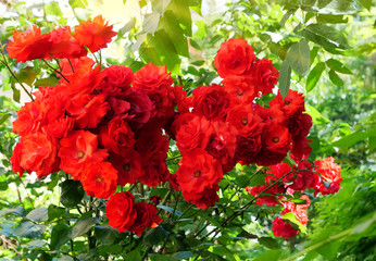 Red climbing roses in the garden