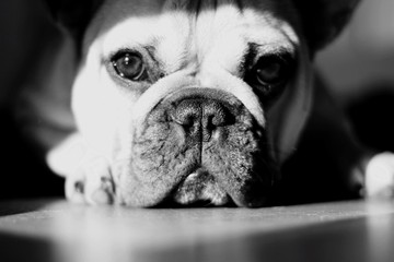Fotobehang Franse bulldog Portrait Of French Bulldog Relaxing On Floor