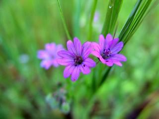 Géraniums Herbe à Robert sauvages en macro.