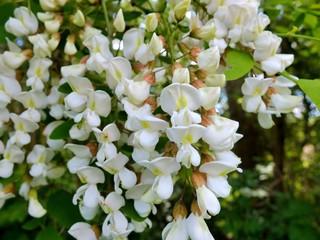 Fleurs d'acacia.