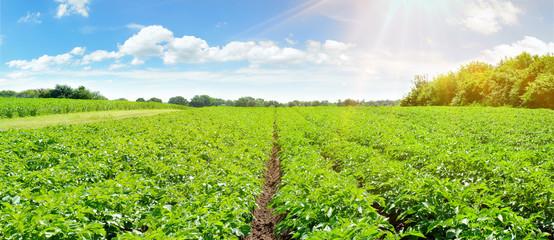 Fotoväggar - Kartoffelacker - Kartoffelpflanzen im Sommer Panorama