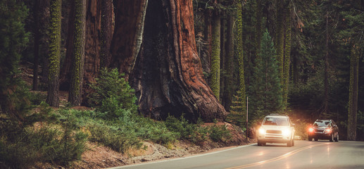 Wall Mural - Road In National Park To Explore Enormous Sequoias.