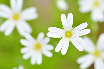 Fototapeta Spring field flowers.
