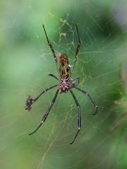 Wielki jadowity pająk w Brazylii