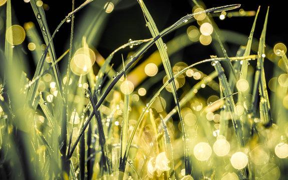 Sunlight Falling On Wet Grasses
