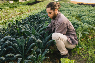 Young man picking oragnic healthy kale from field