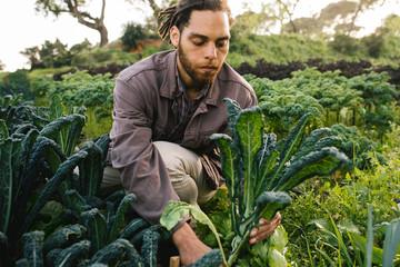 Farmer picking fresh organic kale from field
