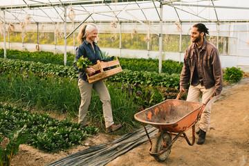 Two farm workers loading vegetables on wheelbarrow