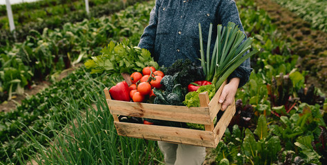 Close up of farmer carrying box with fresh organic vegetables in greenhouse