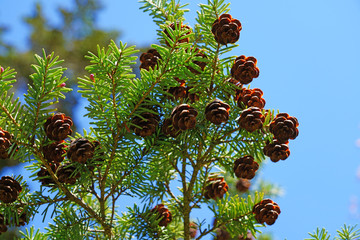 Small pinecones on branches of a Hemlock pine tree (tsuga)