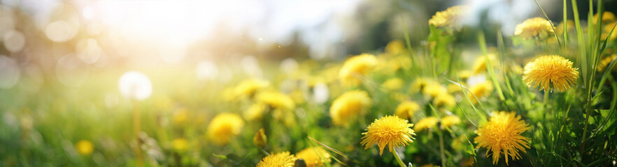Keuken foto achterwand Geel Many yellow dandelion flowers on meadow in nature in summer close-up macro in rays of sunlight at sunset sunrise. Bright summer landscape panorama, colorful artistic image, ultra wide banner format.