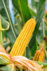 Ear of corn in cultivated cornfield