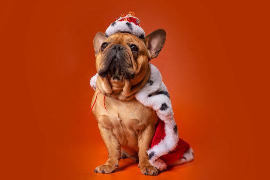 dog french bulldog in king costume on bright orange isolated background