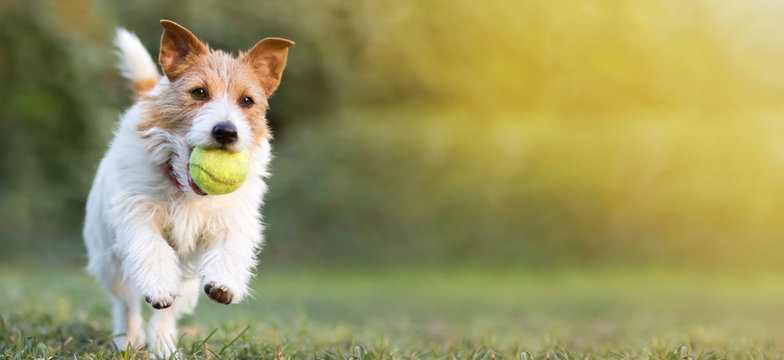 Playful happy pet dog puppy running in the grass and playing with a tennis ball. Web banner with copy space.