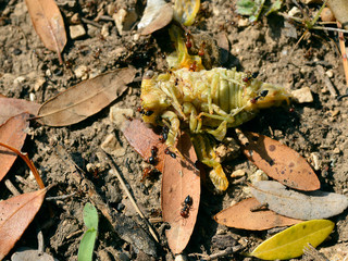 Cicada on the ground attacked by ants among the dead leaves