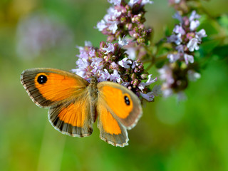 Closeup Pyronia butterfly feeding on flower seen from above
