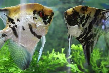 Skalary ryby akwariowe akwarium