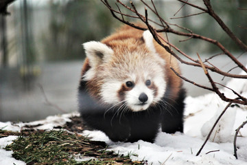 Zelfklevend Fotobehang Panda red panda is and endangered mammal animal from South China and East Himalayas