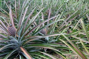 Ananasanbau