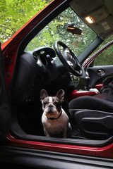 Obraz Bulldog francuski w aucie. - fototapety do salonu