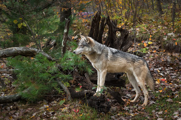 Fotomurales - Grey Wolf (Canis lupus) Paws Up on Root Bundle Autumn