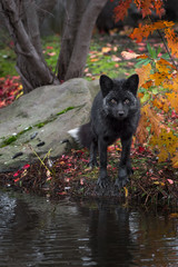 Fototapete - Silver Fox (Vulpes vulpes) Stands Looking Out from Island Autumn