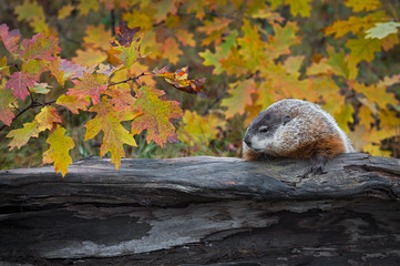 Fotomurales - Woodchuck (Marmota monax) Looks Left Along Top of Log Autumn