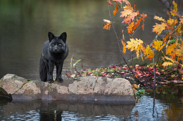 Fotomurales - Silver Fox (Vulpes vulpes) Balances on Rock at Edge of Island Looking Out Autumn