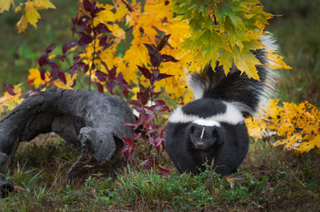 Fotomurales - Striped Skunk (Mephitis mephitis) Stands Near Log Looking Out Curiously Autumn