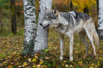 Fotomurales - Grey Wolf (Canis lupus) Looks Around Birch Trees Autumn