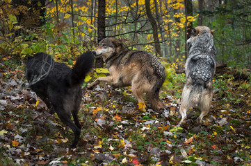 Fotomurales - Three Grey Wolves (Canis lupus) Run About Together in Forest Autumn