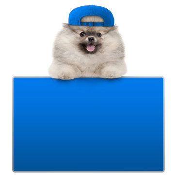 cute furry pomeranian dog with blue cap, leaning with paws on blank blue social media sign, isolated on white background