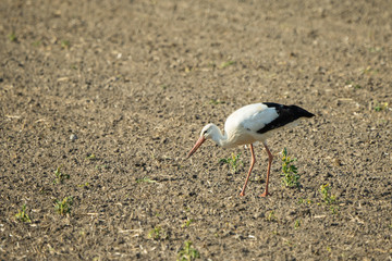 European white stork looking for food in a field