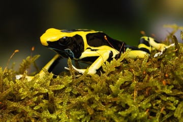 """Young dyeing poison dart frog """"regina"""" on a mossy branch"""