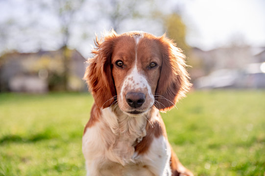 Adorable cute welsh springer spaniel in spring, active happy healthy dog playing outside.