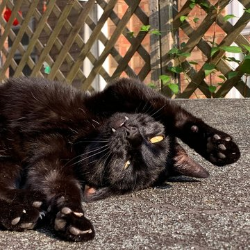 Black cat upside down on shed roof playing in the sunshine