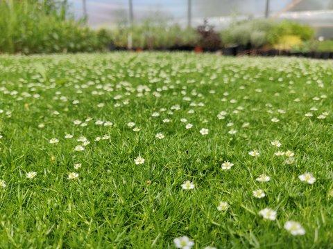 Sagina subulata - green carpet with white flowers looks like moss