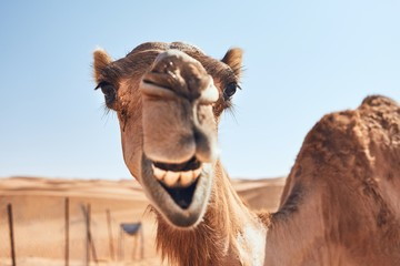 Photo sur Plexiglas Chameau Funny camel in desert