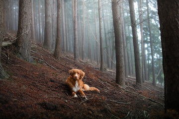 dog in a foggy forest. Pet on the nature. red Nova Scotia Duck Tolling Retriever