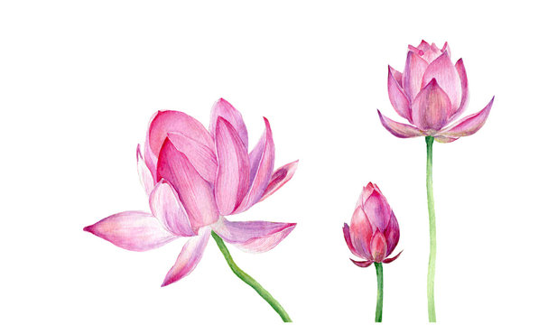 Hand drawn watercolor illustration Three pink Lotus. Vector