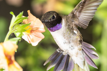 Wall Mural - Black-Chinned Hummingbird Searching for Nectar Among the Orange Flowers