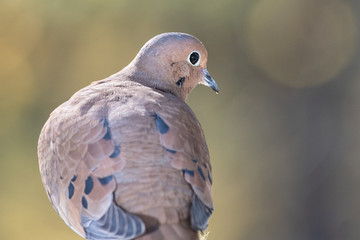 Wall Mural - Profile of a Mourning Dove Perched on a Branch