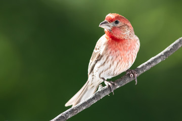Wall Mural - Curious House Finch Perched in a Tree
