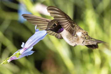 Wall Mural - Black-Chinned Hummingbird Searching for Nectar Among the Blue Flowers